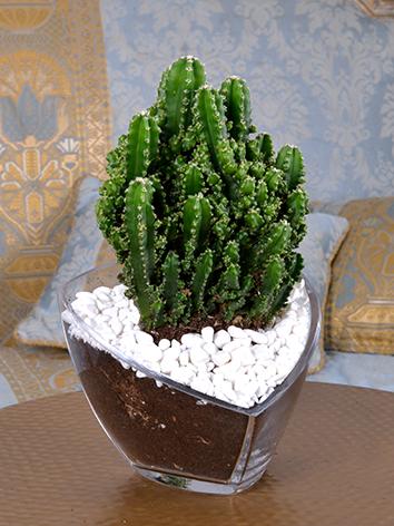 Wild Cactus  'Office Plants'