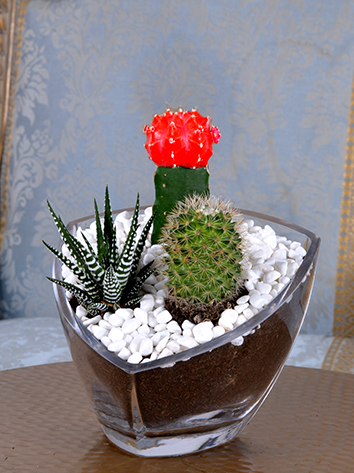 Beauty Succulents  'Office Plants'
