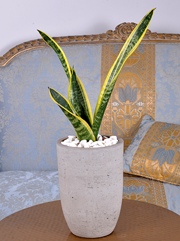Mini Sansevieria Concrete  Indoor Plants