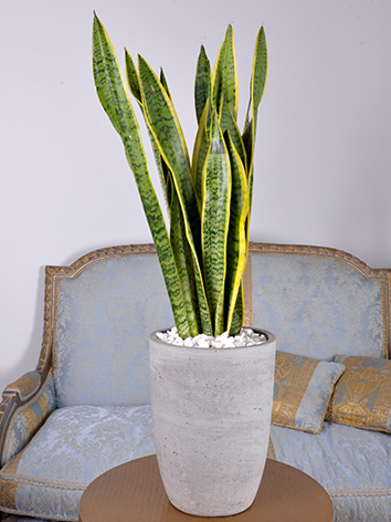 Sansevieria Concrete  Indoor Plants