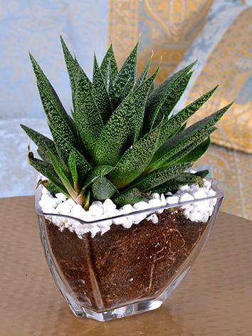 charming Succulents  Office Plants