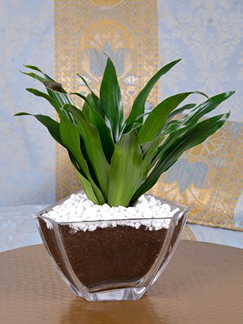 glory  Office Plants