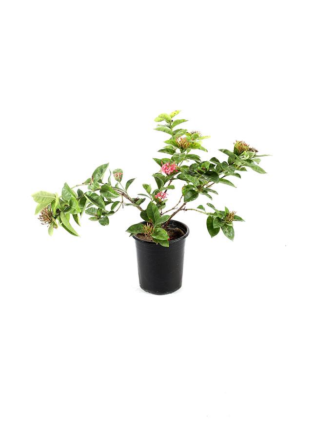 Ixora Coccinea 1 'Outdoor Plants'