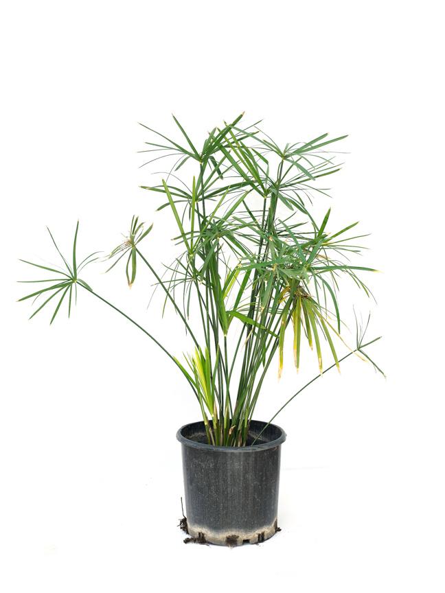 السعدة 'نباتات خارجية'