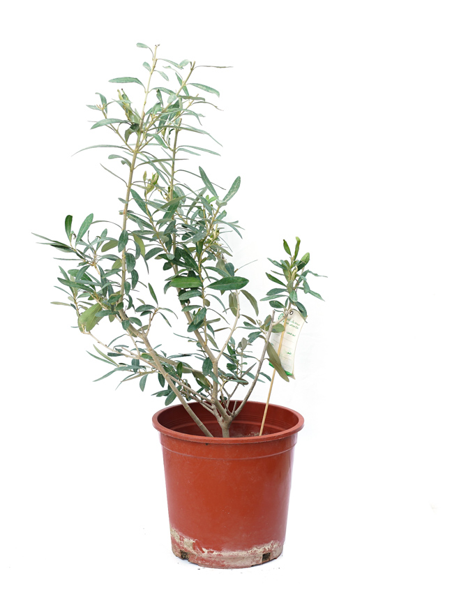 زيتون كثيف نباتات خارجية