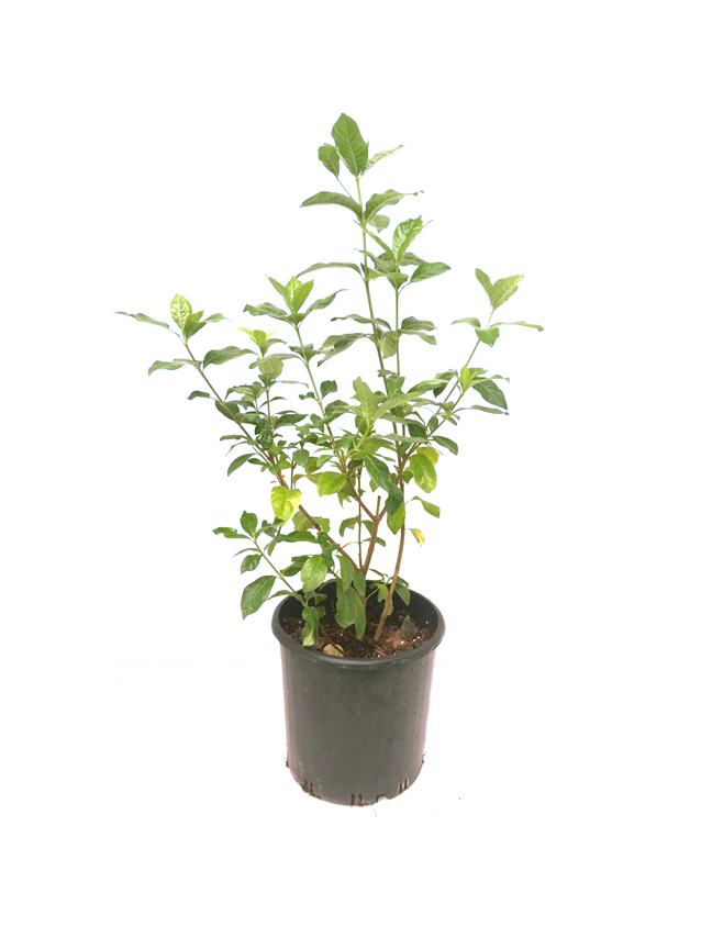 Gardenia Bushy Outdoor Plants