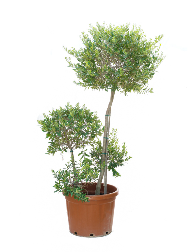 Olive 4pp Ball Outdoor Plants