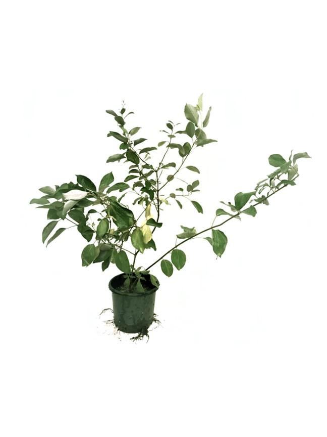كابوريوم بنفسجي نباتات خارجية