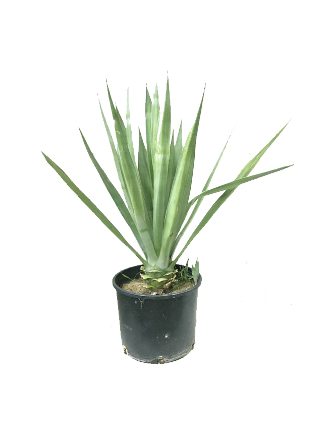 Agave Angustifolia Outdoor Plants