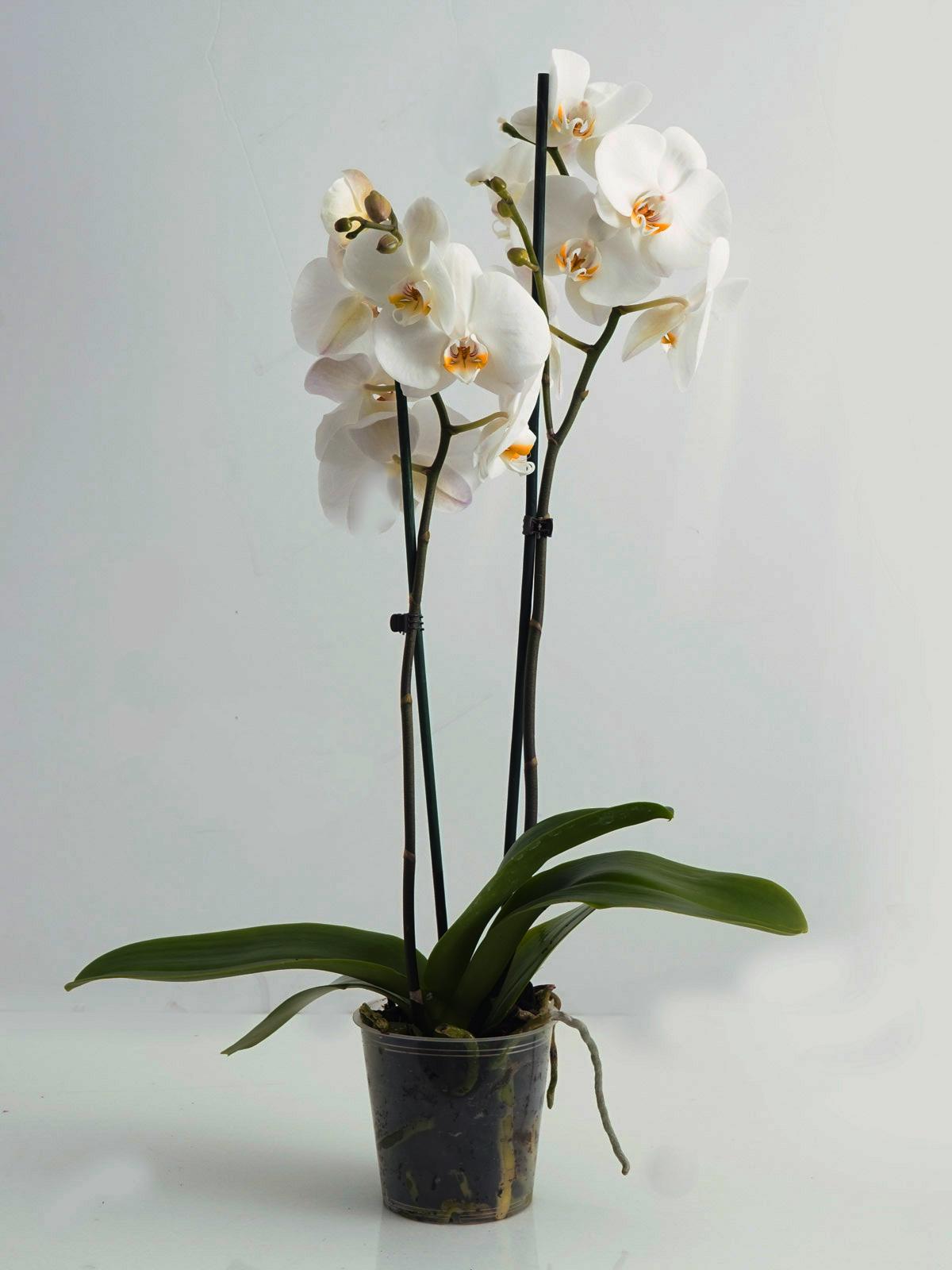 فالاينوبسيس أوركيد نباتات داخلية