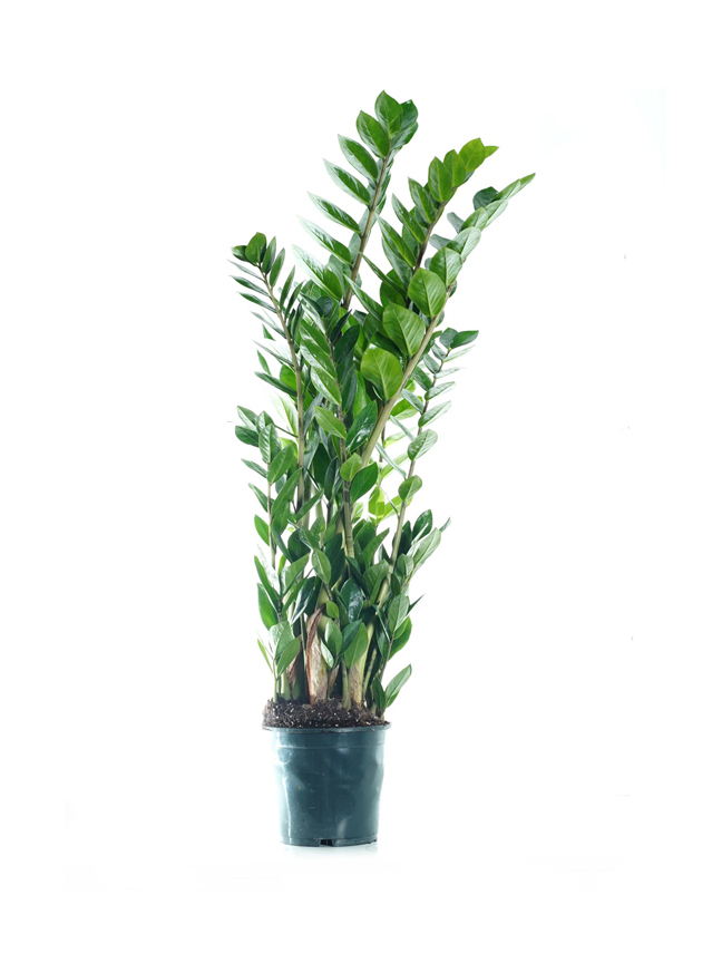 Zamioculcas Indoor Plants