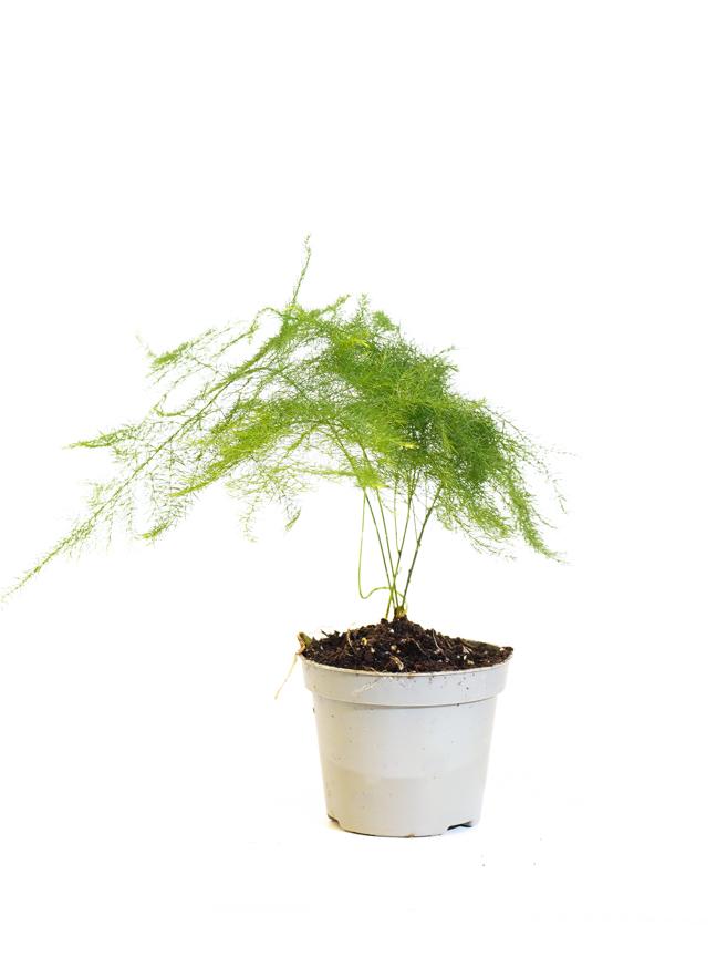 Asparagus Setaceus Plumosus Indoor Plants