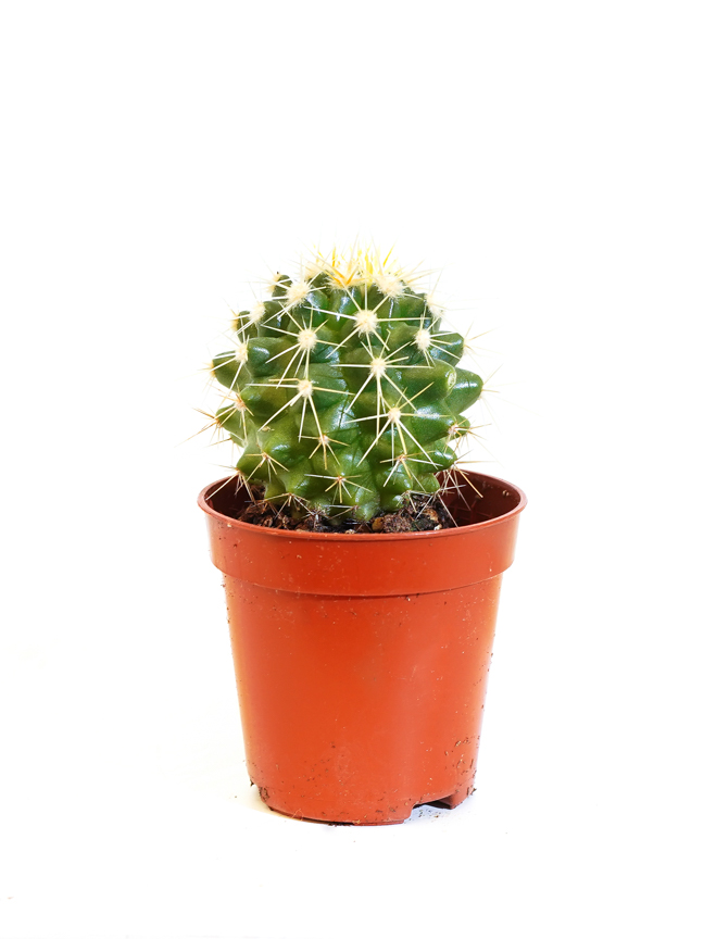 إشينوكاكتوس جروسوني 'نباتات داخلية'