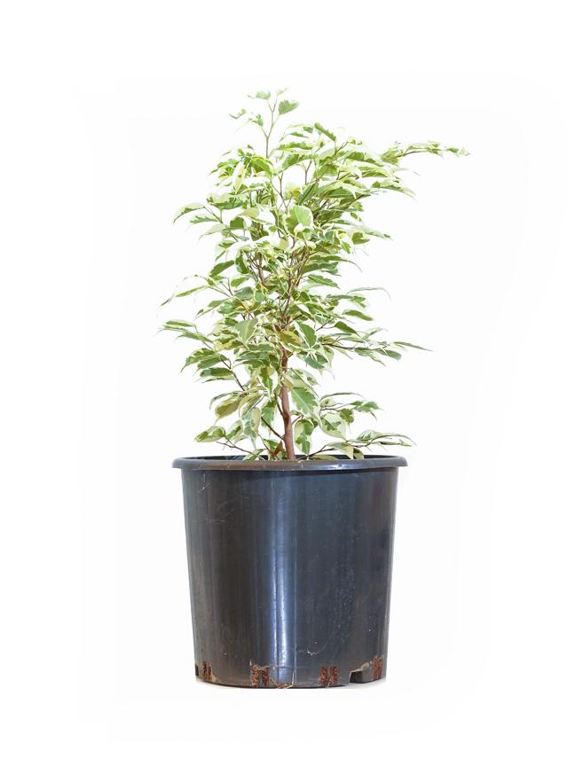 Ficus Benjamina Starlight Bushy Indoor Plants