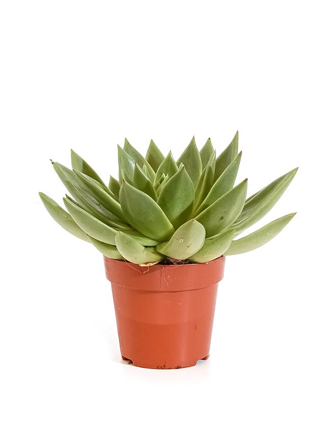 Echeveria Miranda 1 Cutting 'Indoor Plants'