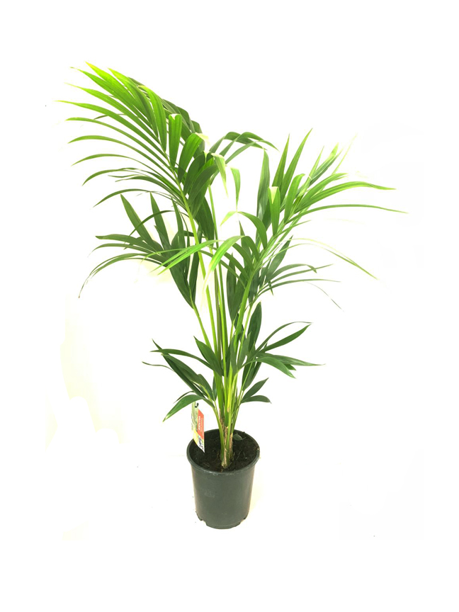 Howea Forsteriana 'Indoor Plants'