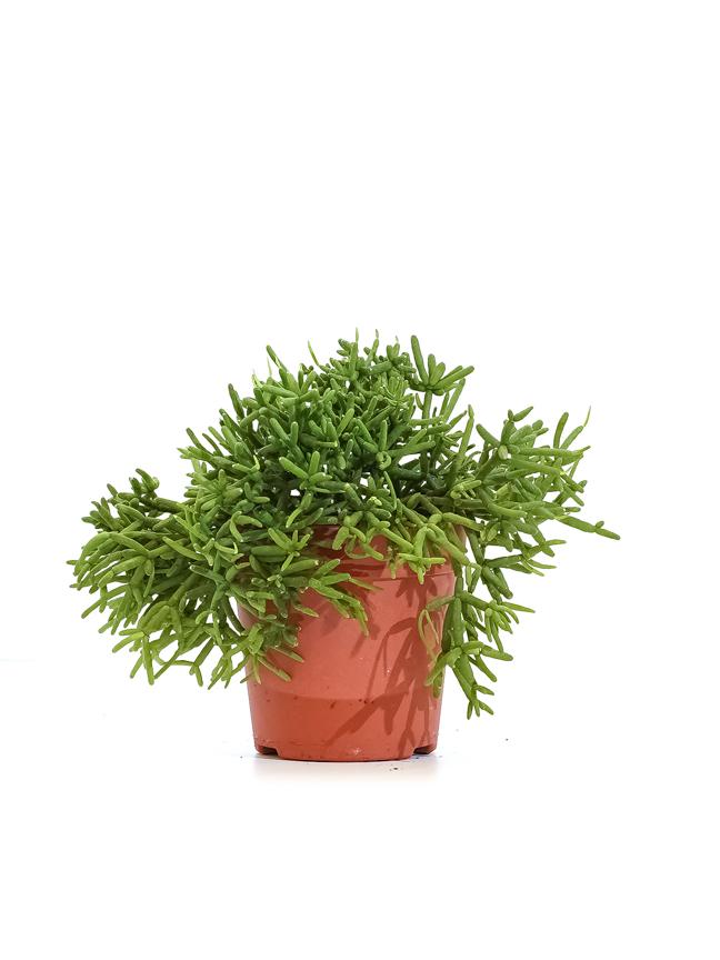 ريبسالس كاشيرو 'نباتات داخلية'