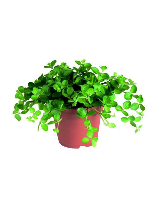 Peperomia Rotundifolia 'Indoor Plants'