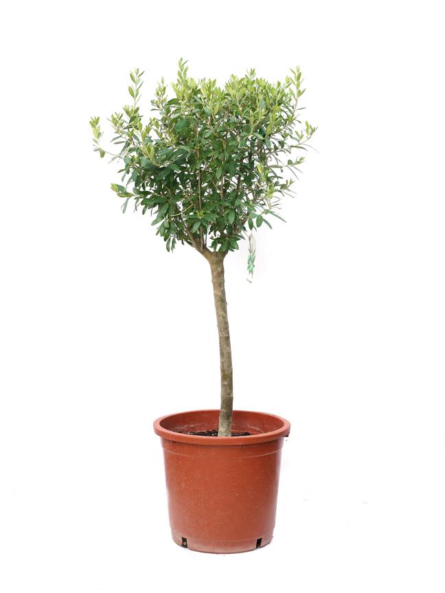 Olea Copa Stem Outdoor Plants