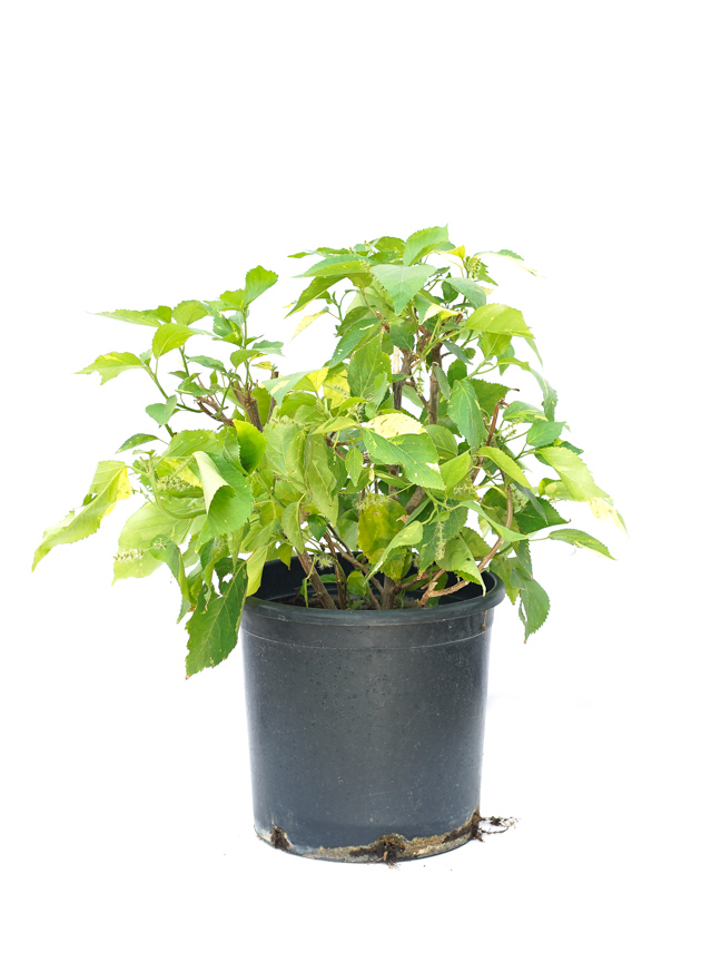 Acalypha Small Outdoor Plants