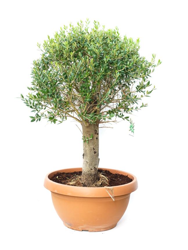 Olea Europea 'Outdoor Plants'
