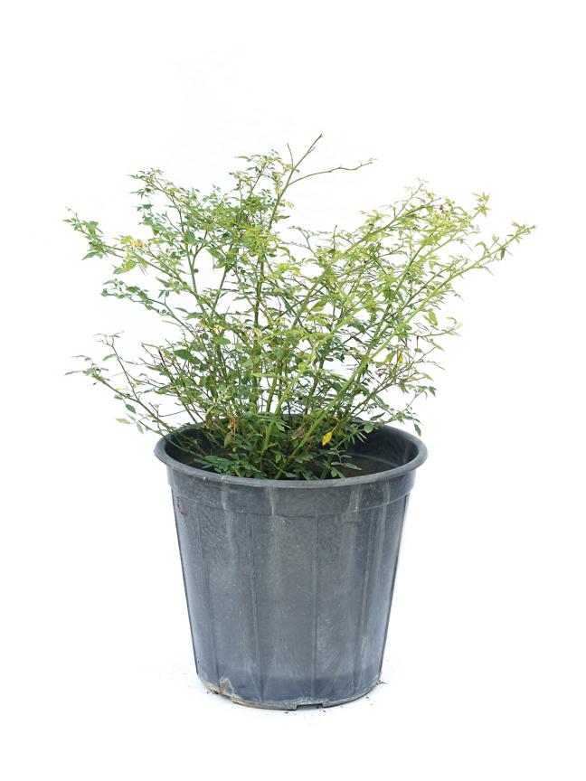 ورد صيني  'نباتات خارجية'