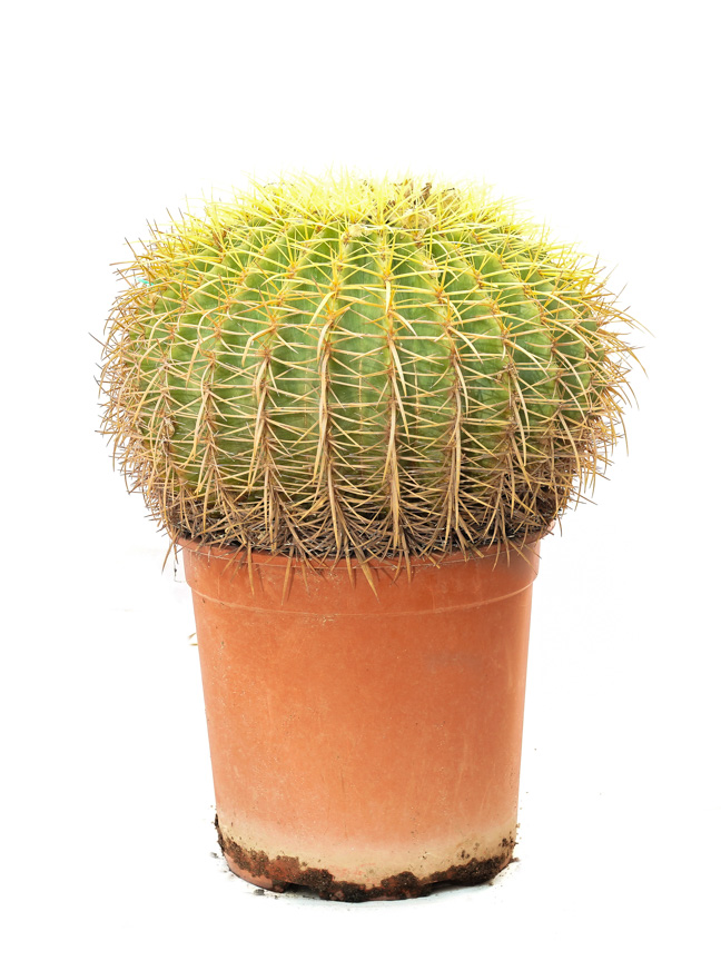 Echinocactus Outdoor Plants