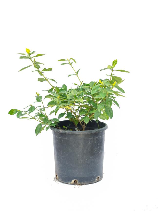جاردينيا نباتات خارجية