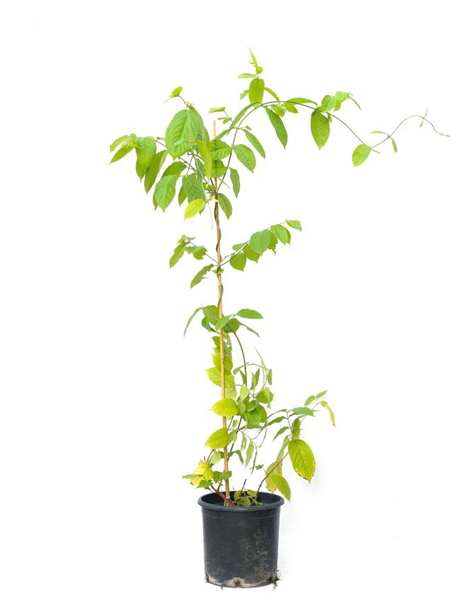 رانغون الزاحف نباتات خارجية