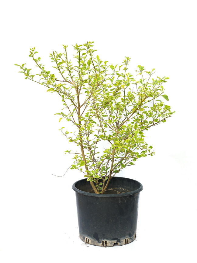 دورانتا 'نباتات خارجية'