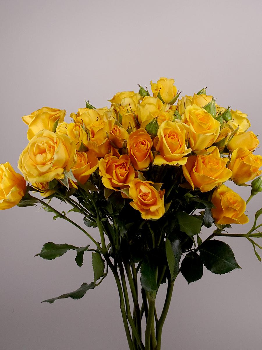 بيبي روز اصفر   الزهور بالجملة