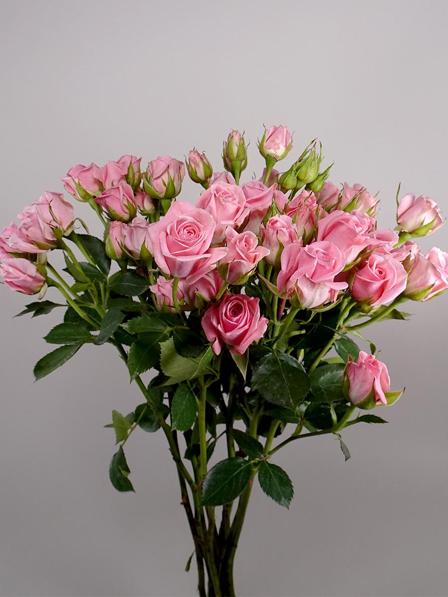 سبراي روز اوديلا - وردي فاتح   الزهور بالجملة