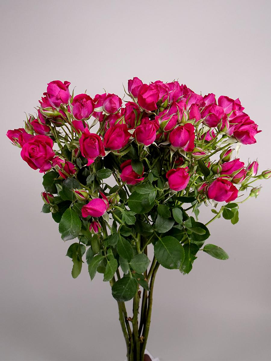 سبراي روز أليشا - فوشي   الزهور بالجملة