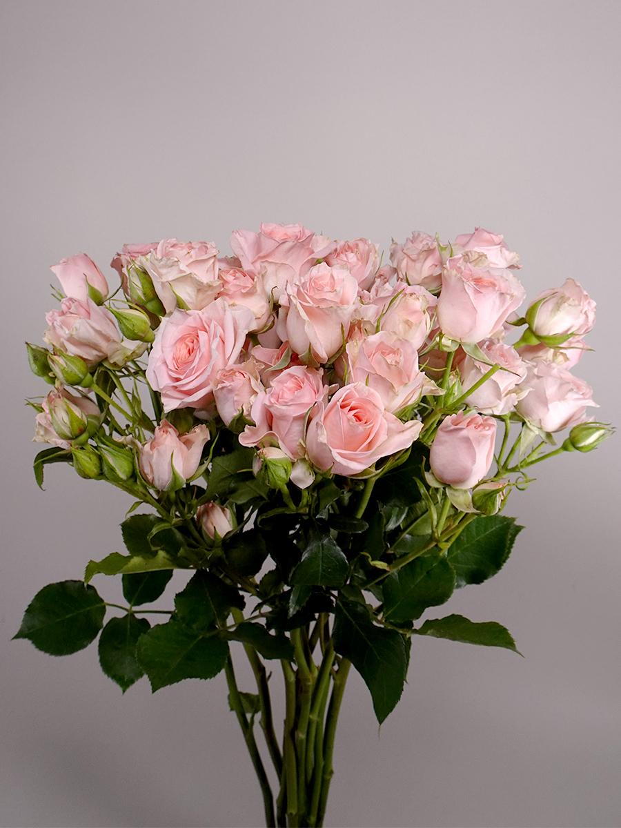 سبراي روز سويت سارة - وردي فاتح  الزهور بالجملة