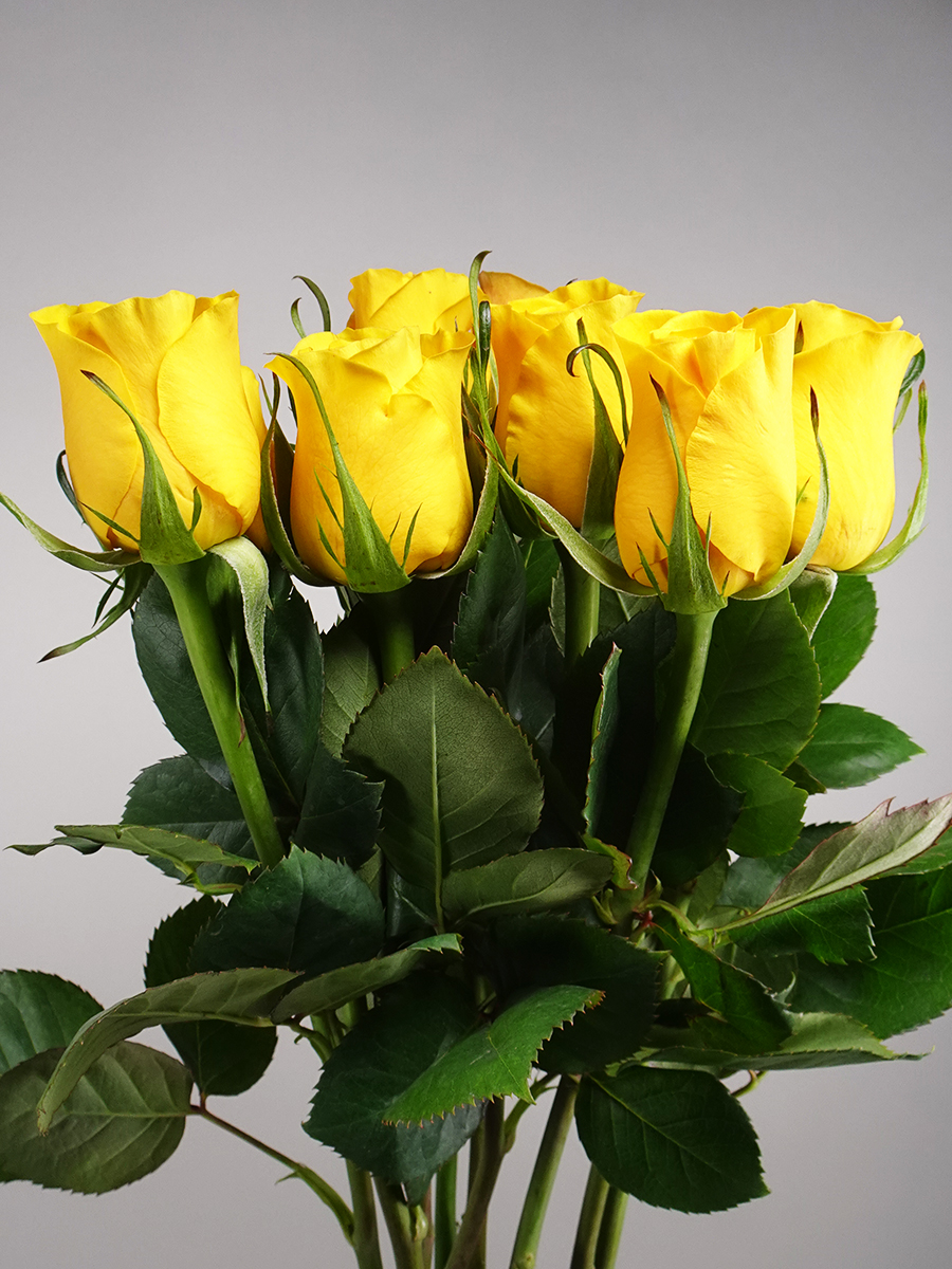 Brighton Rose ( yellow )  Wholesale Flowers