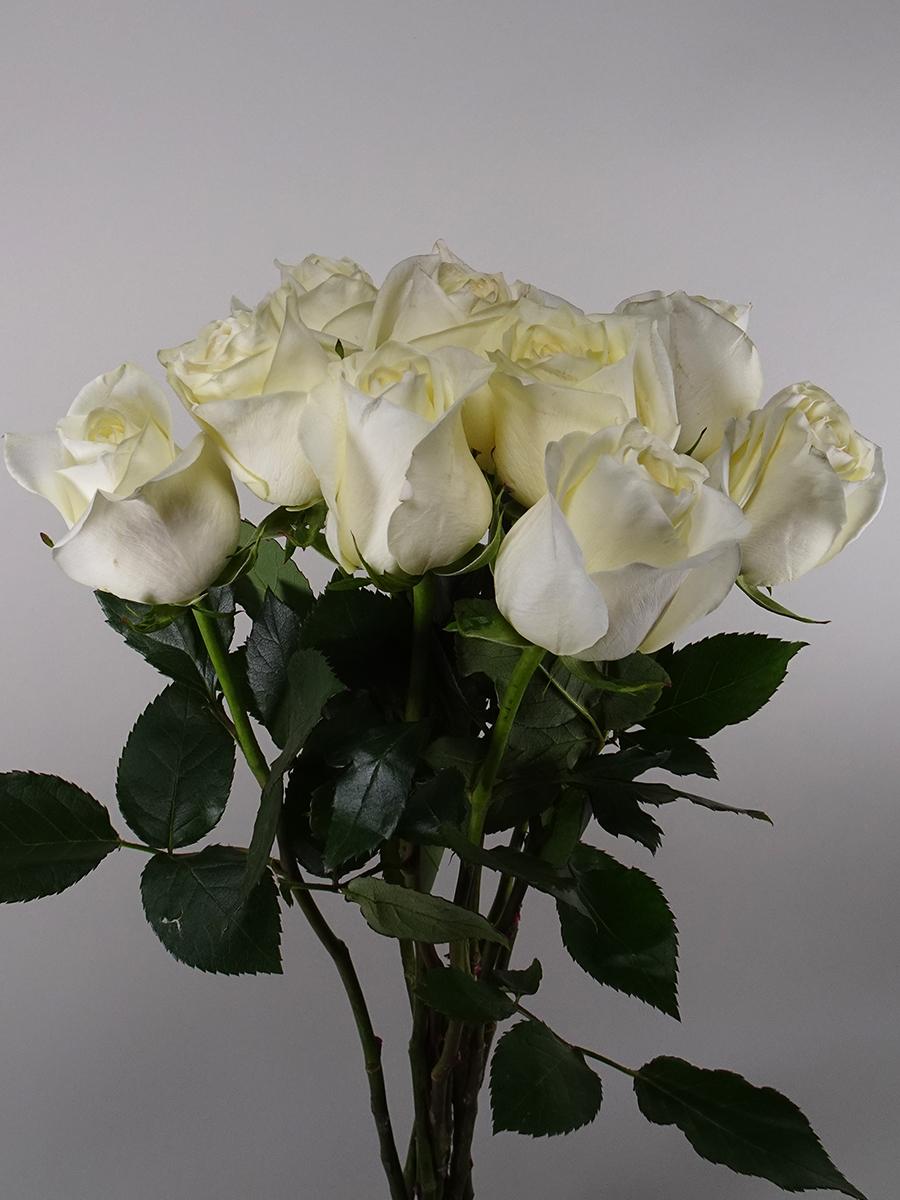 بولار ستار روز - كريمي   الزهور بالجملة