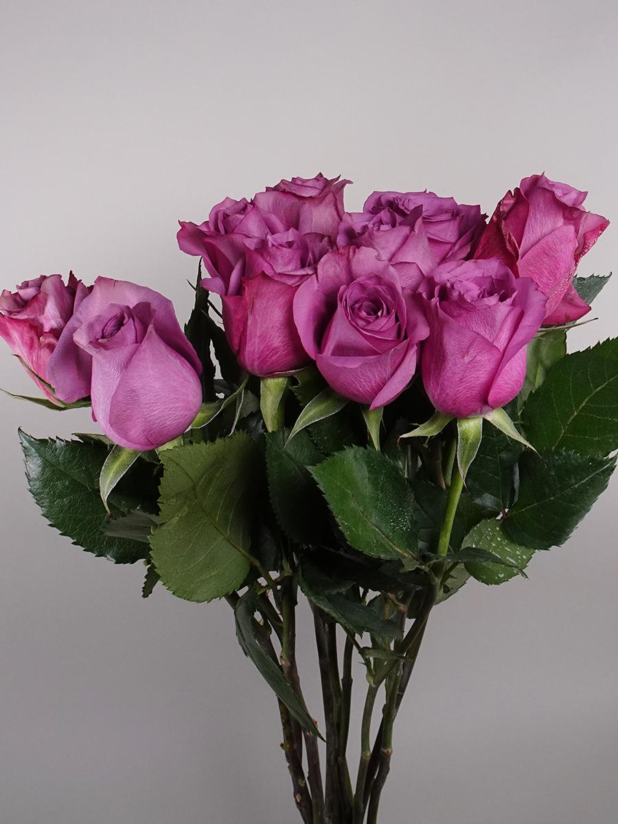 نيو اورلانس روز - بنفسجي  الزهور بالجملة