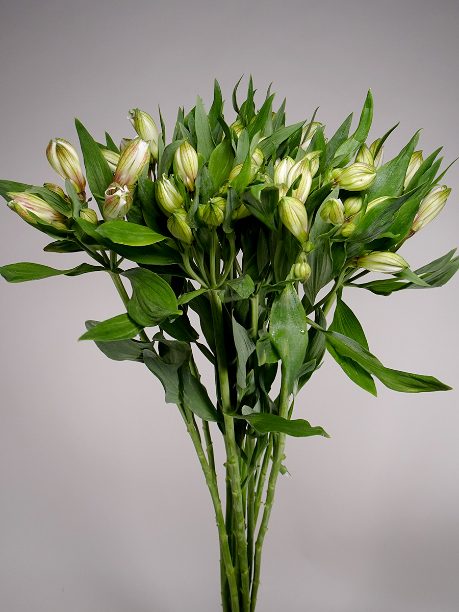 Alstomeria White Wholesale Flowers