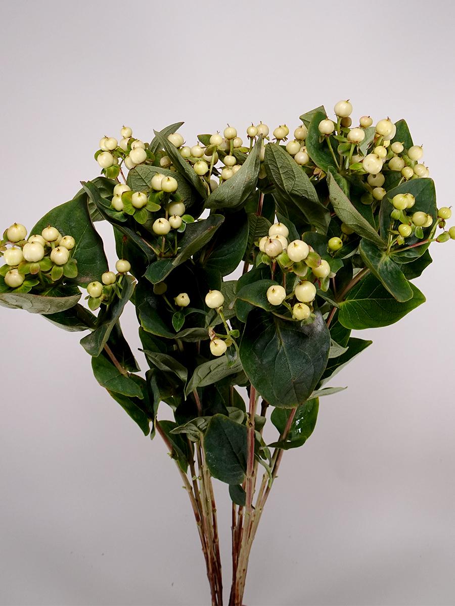 Hypericum White Wholesale Flowers
