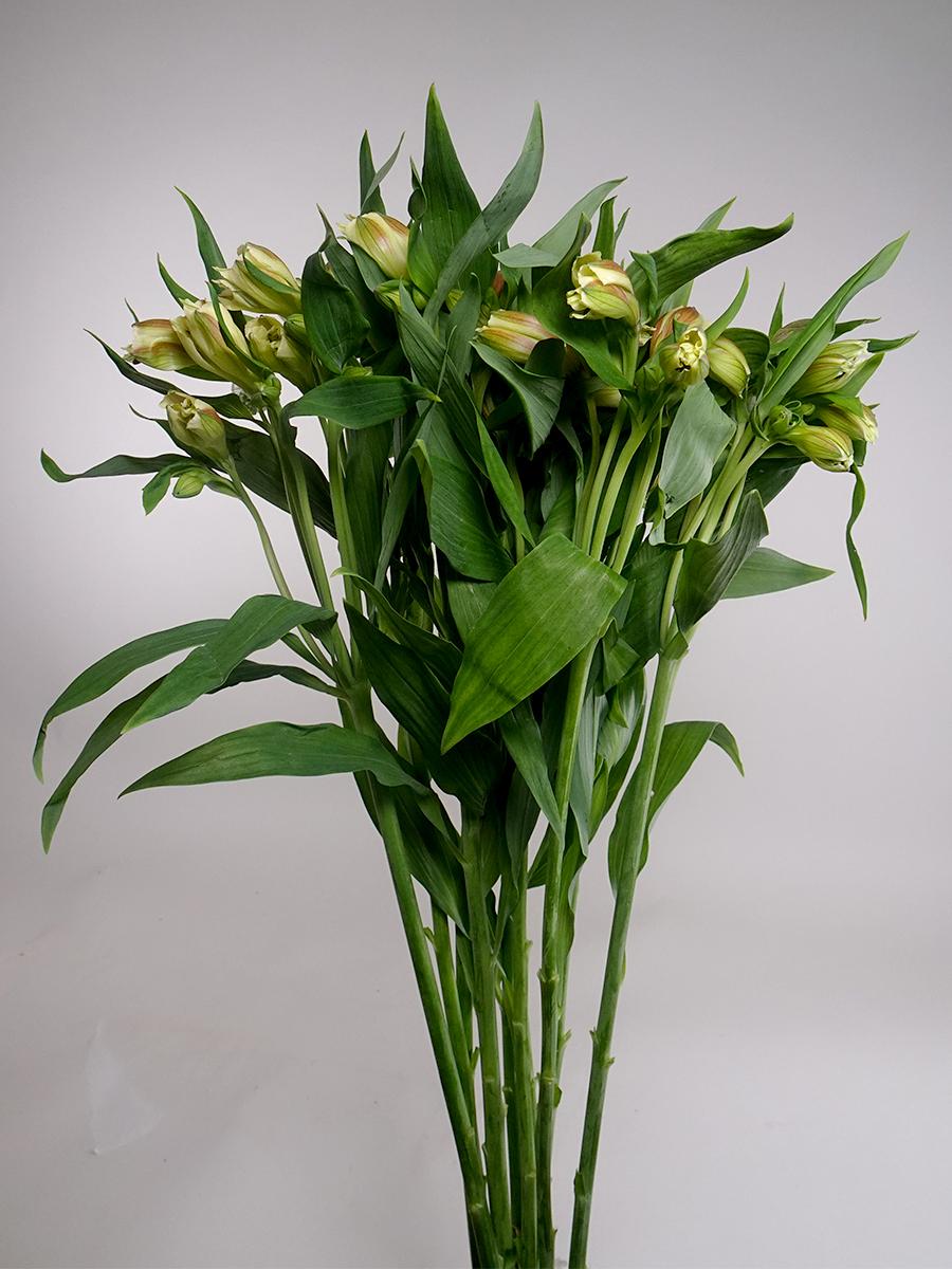 Alstomeria Yellow Wholesale Flowers