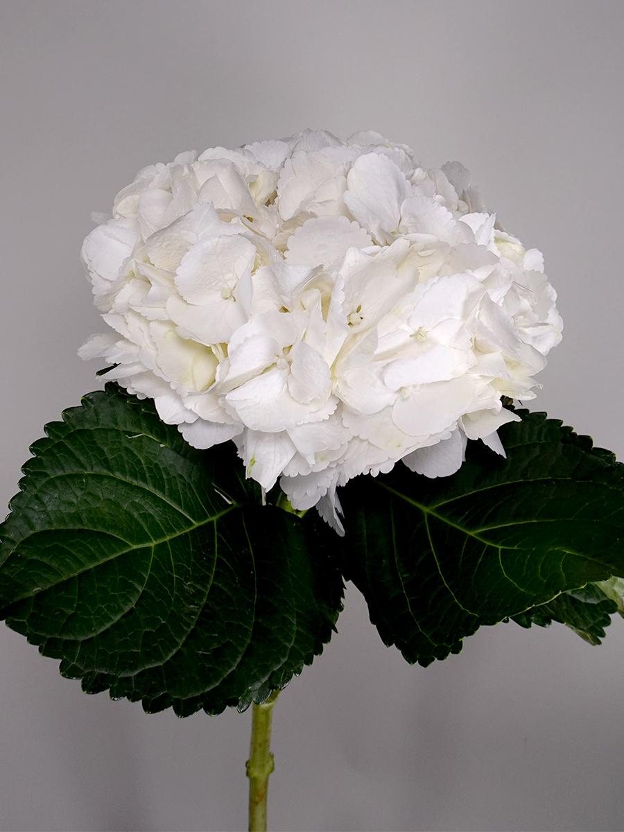هايدرتنجيا - 4 ستيمز  الزهور بالجملة