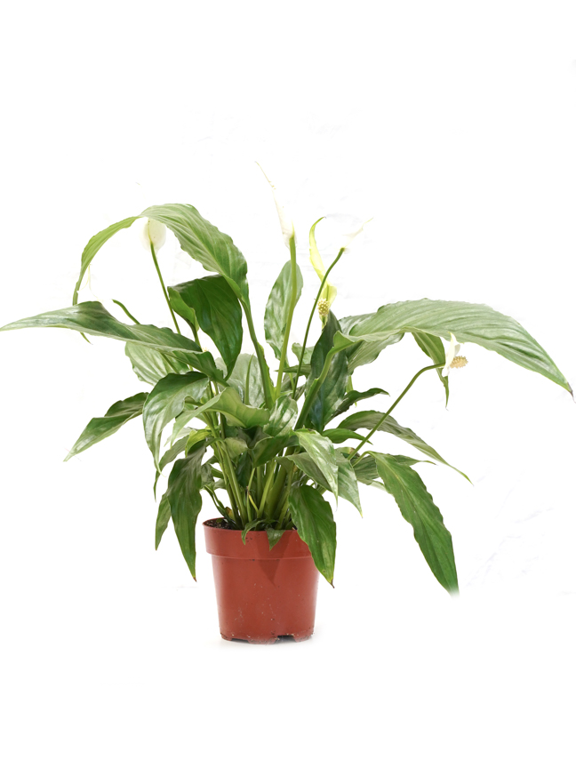 Spathiphyllum sweet chico Indoor Plants