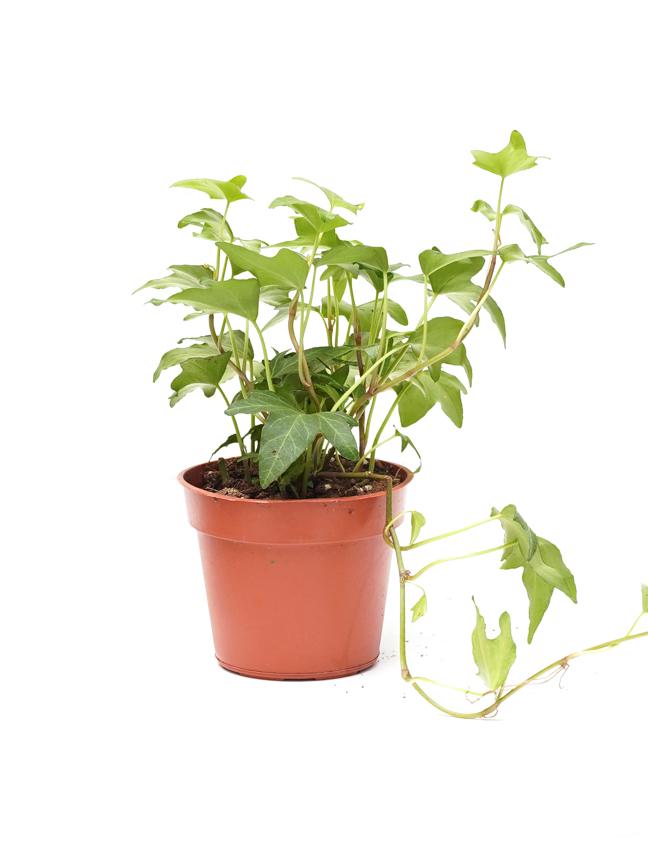 Hedera Helix Baby Mixed Indoor Plants