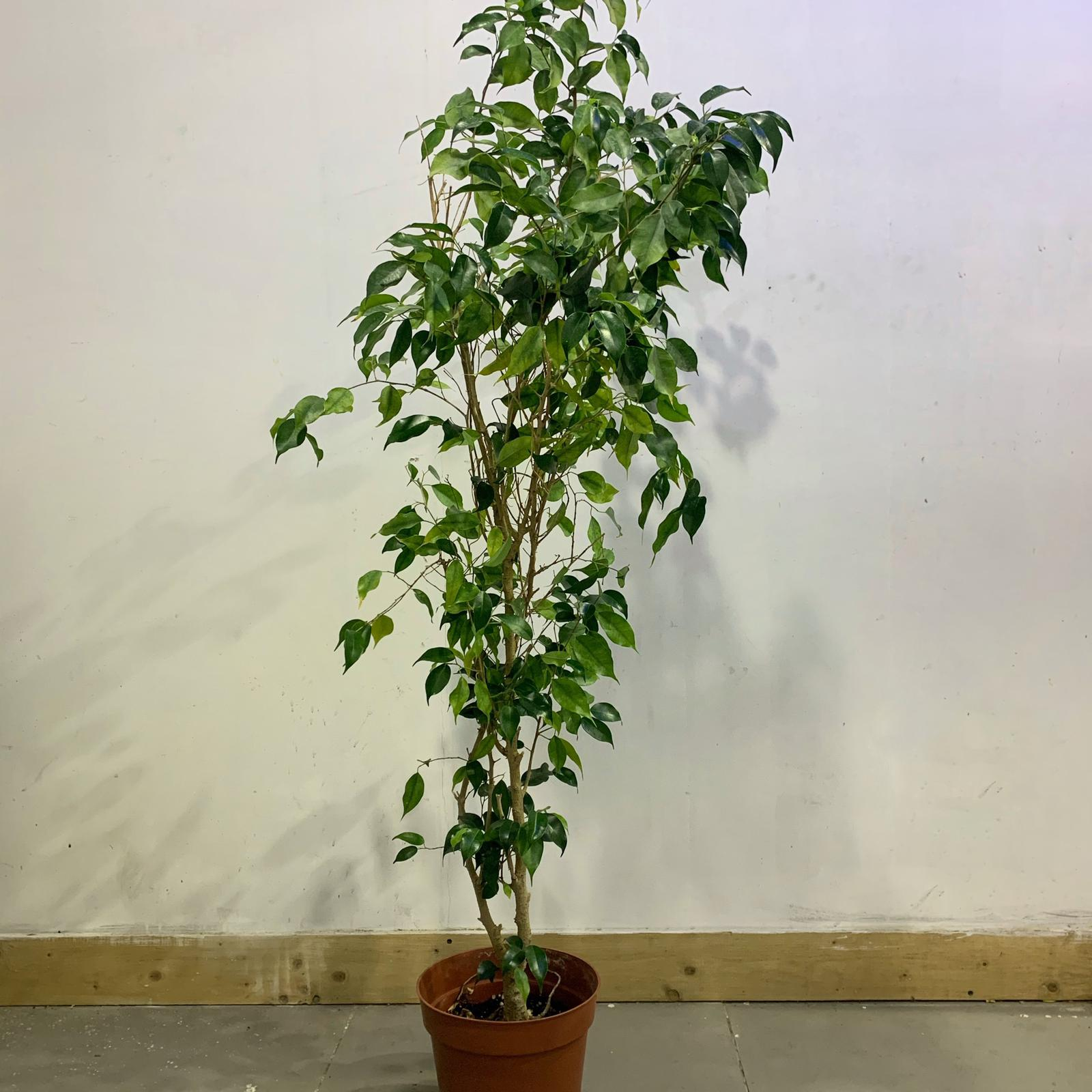 Ficus-146 cm Indoor Plants