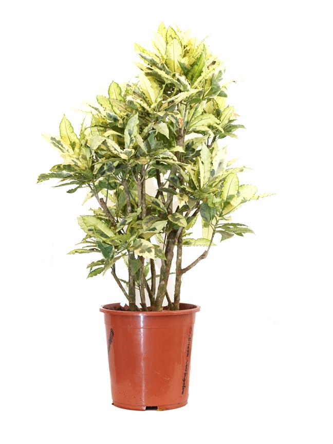 إبورنيوم أبيض , كوديوم , فاريجاتيوم نباتات داخلية