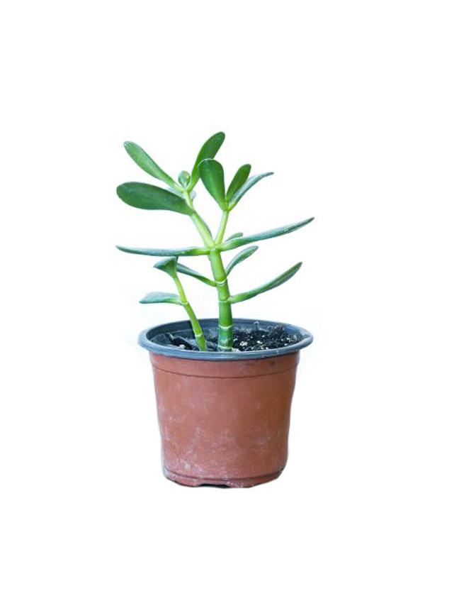 ببروميا نباتات داخلية