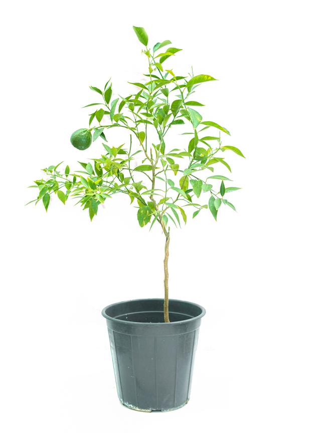Orange Mandarin Outdoor Plants