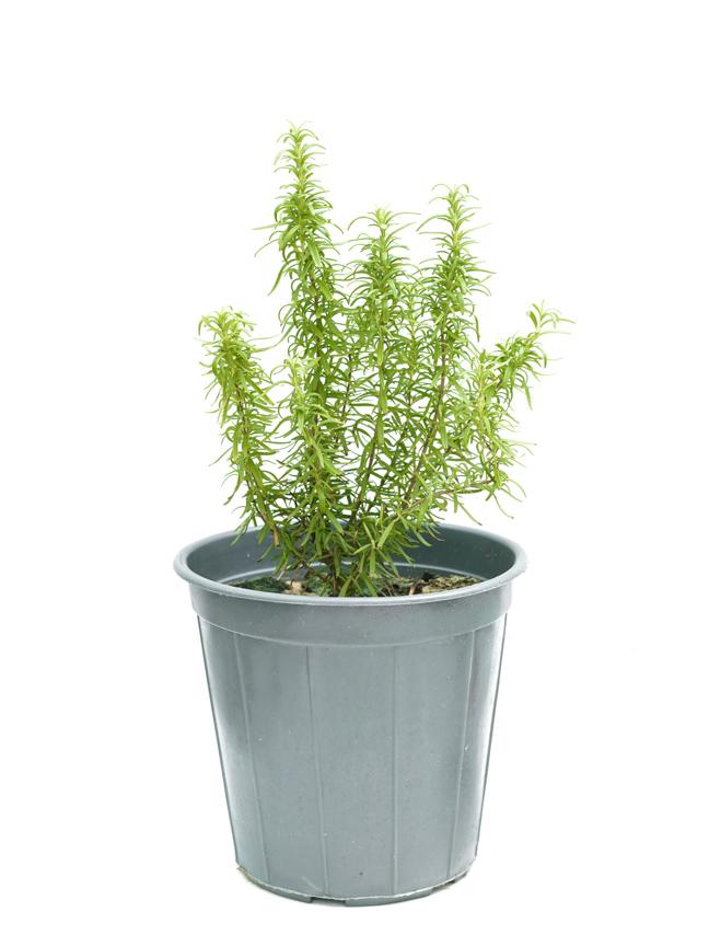 Rosemary P25 'Outdoor Plants'