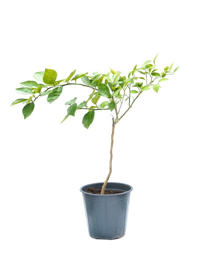 Orange Bu Sorah 'Outdoor Plants'