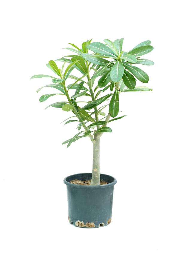 الادينيوم 'نباتات خارجية'